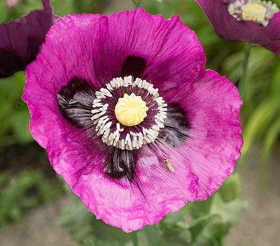 poppy morning A4.jpg