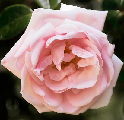 rose working.jpg