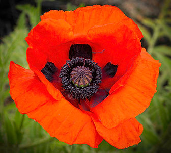 poppy 1 A4.jpg