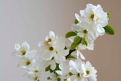 exochorda macrantha A4.jpg