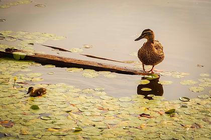 mallard and chick A4.jpg