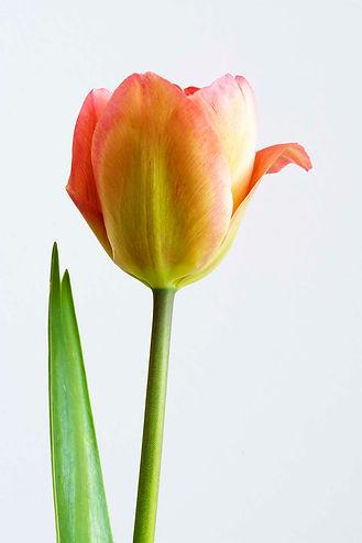 tulip day 1 crop.jpg