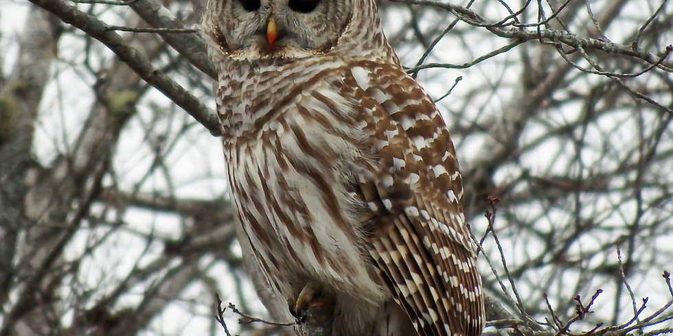 Chewonki Owls