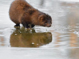 Mink Sighted in Belgrade Lakes Stream