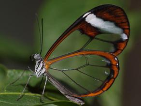 Yeni Görüntüler, Cam Kanatlı Kelebeklerin Kanatlarını Nasıl Şeffaf Hale Getirdiğini Açıklıyor