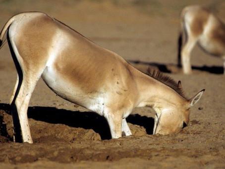 Vahşi Eşekler ve Atlar, Diğer Türlere Yardım Eden Su Kuyuları Oluşturur