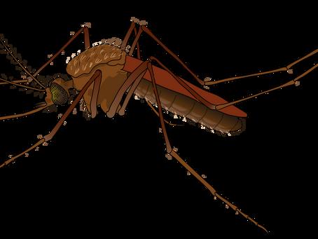 Genetiği Değiştirilmiş Sivrisinekler Uçmaya Başladı