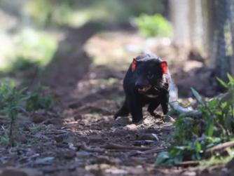 3.000 Yıl Sonra Avustralya Anakarasında Doğan Bebek Tazmanya Canavarları