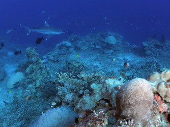Mercanların Gizli Genetik Çeşitliliği, Farklı Yaşam Tarzlarına Karşılık Gelir