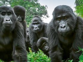 Goriller Hakkında 7 Büyük ve Tüylü Gerçek
