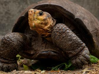 """Galapagos Kaplumbağası """"Neslinin Tükenmesinden"""" 115 Yıl Sonra Geri Döndü"""