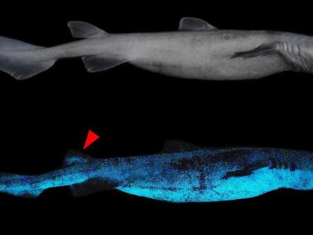 Parlayan En Büyük Köpek Balığı