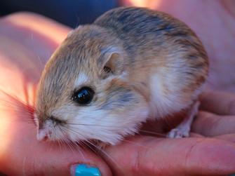Hiç su içmeyen hayvan: Kanguru Sıçanı