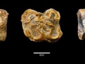 Antik Diş, Dev Su Aygırlarının Erken Tarihini Kanıtlıyor