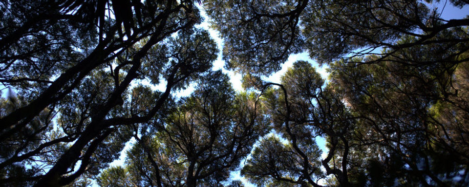 Tree tops of native new zealand bush on Great Barrier Island.jpg