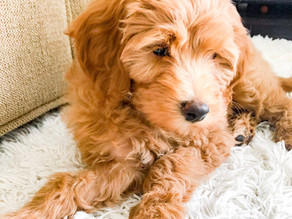 Paw-sitively the Cutest...Meet Our New Puppy, Arie!