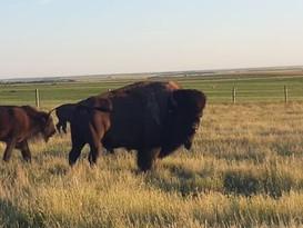Roesdale Bison.jpg