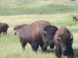 Rosedale Bison Grazing.jpg