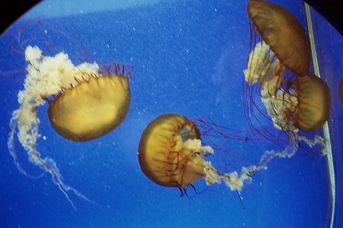 Denver Jellies