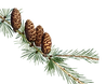 larch png.png