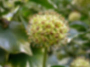 800px-Lierre-fleurs.jpg