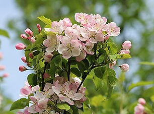 330px-Apple-tree_blossoms_2017_G3.jpg