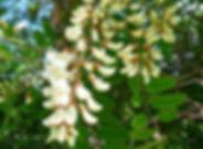 Rispe_weißer_Blüten.JPG