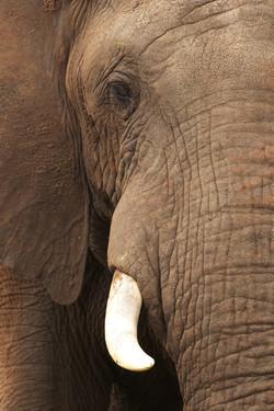 Cerca de elefante