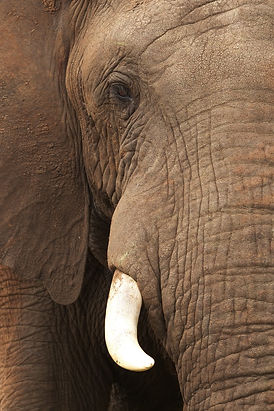 Close-up van de olifant