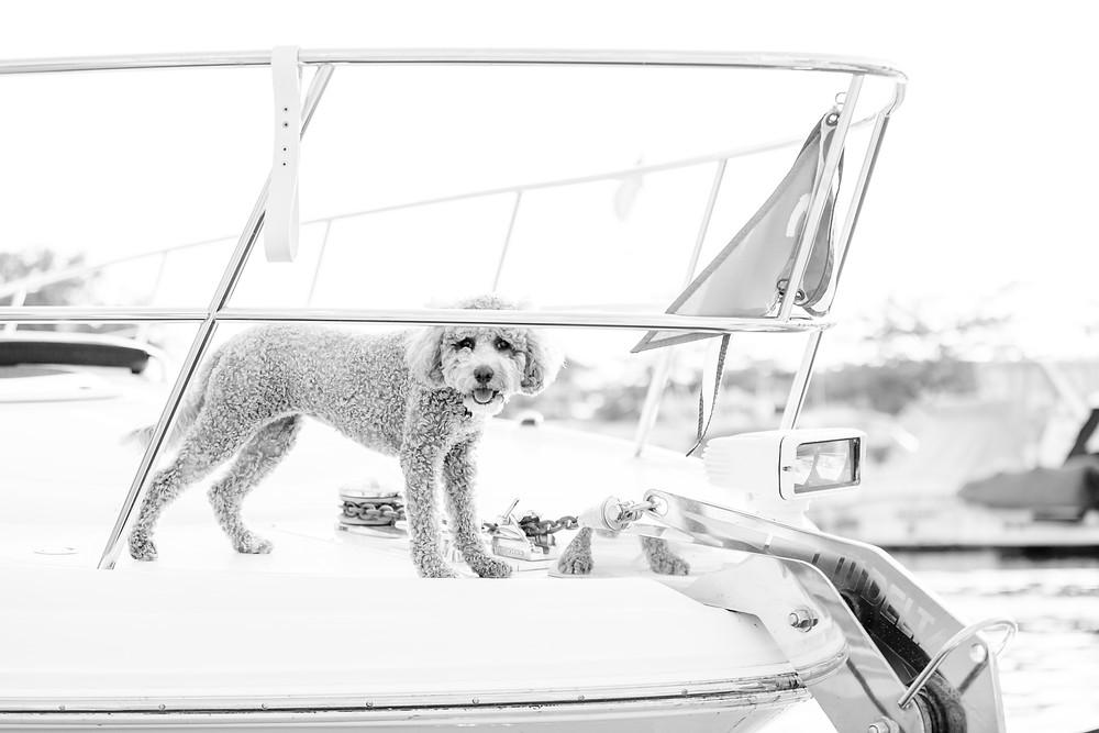 fluffy dog on bow of yacht boat new buffalo michigan
