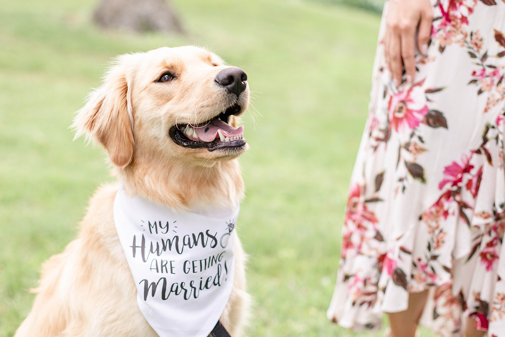 mini golden retriever dog wearing my humans are getting married bandana at the Rivere Park Midland Michigan