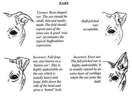 Znalezione obrazy dla zapytania standard officiel du staffordshire bull terrier