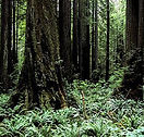 news-california-headwaters-trees-old-gro