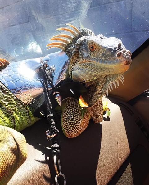 5 Reasons An Iguana is Better Than A Boyfriend