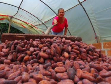 Cacao en el posconflicto