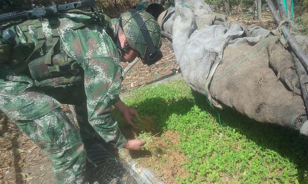 Erradicacion manual adelantada por el Grupo Apolo, del Ejército, en Cauca. / Foto: Prensa Ejército Nacional.