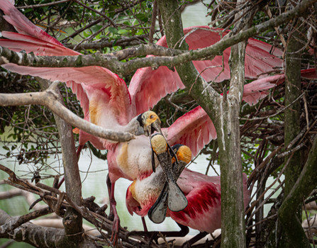 Roseatte Spoonbills,, High Island, Tx
