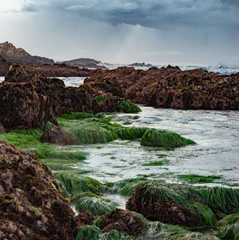 Kelp Garden, Monterey, California