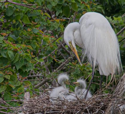 Egret Family, High Island, Tx