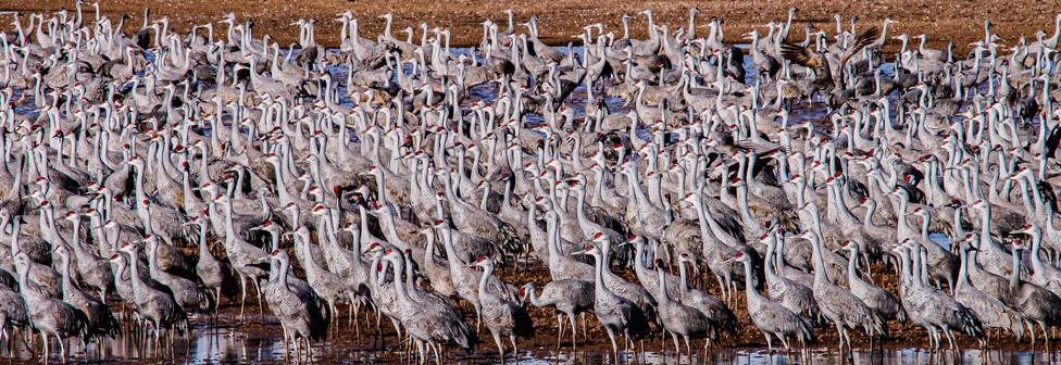Sandhill Cranes, Whitewater Draw, Arizona