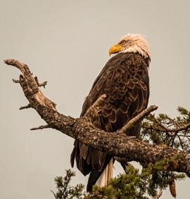 Bald Eagle, Sequim, Washington