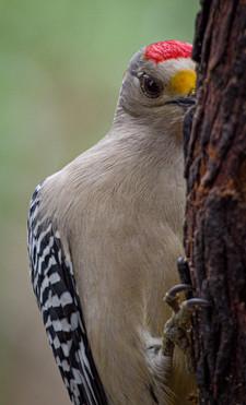 Golden-Fronted Woodpecker, Rio Grande, Tx