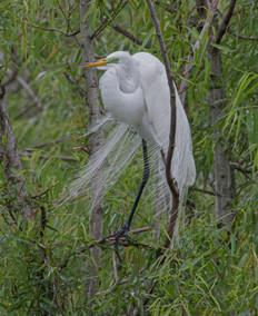 Egret, High Island, Tx
