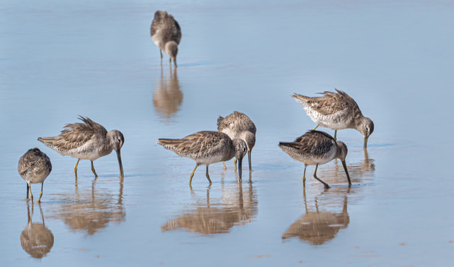 Dowitchers - 1