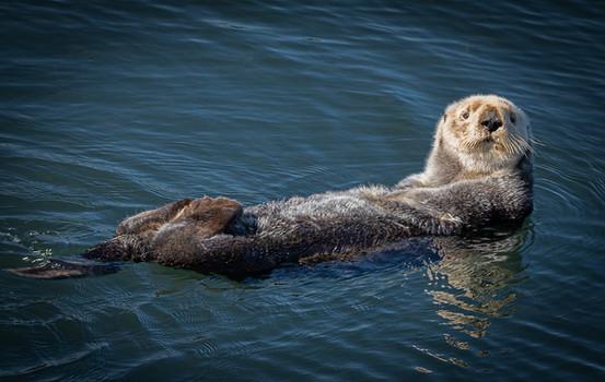 Sea Otter, Pacific Northwest
