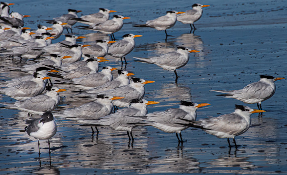 Caspian Terns and Laughing Gull