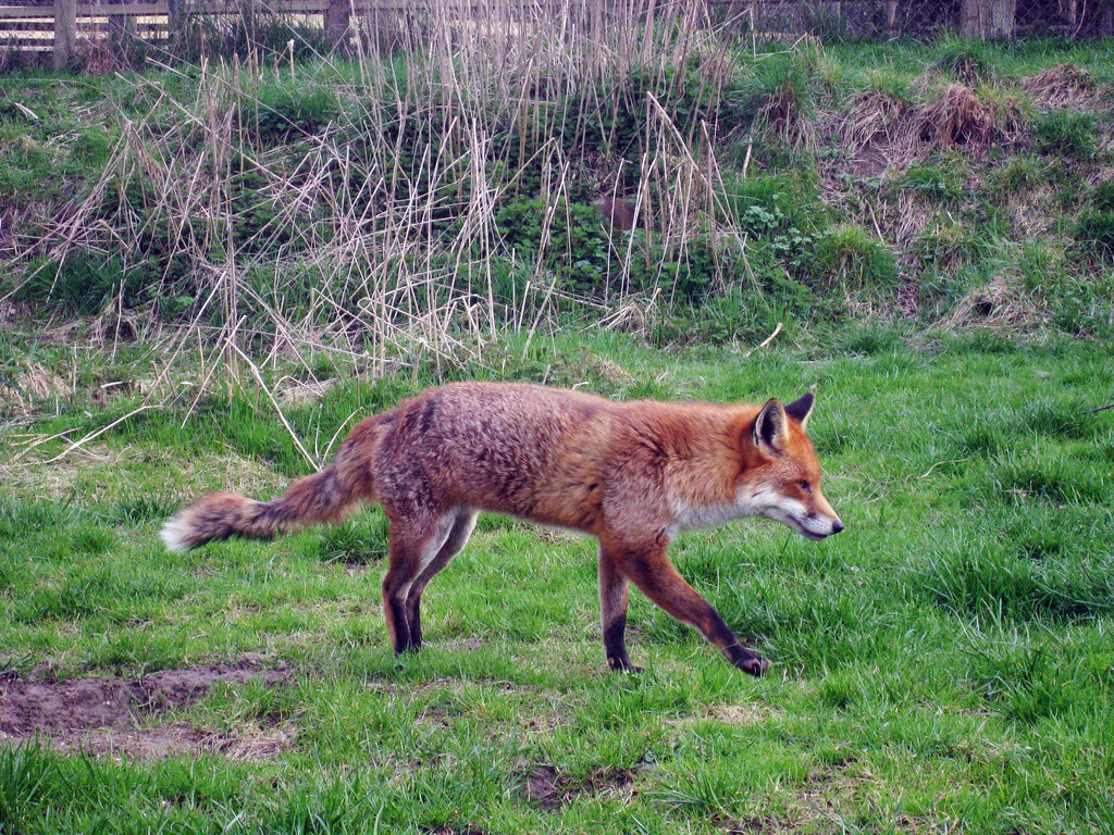 Fox_at_British_Wildlife_Centre_-_geograph.org.uk_-_1784463