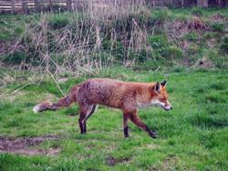 Fox_at_British_Wildlife_Centre_-_geograph.org.uk_-_1784463