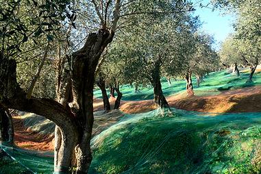 Il setiero dell'olio d'oliva - Massarosa