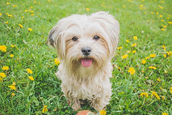 Dog Standing on Grass Field Close-up - Dog Friendly Campsite Pembrokeshire